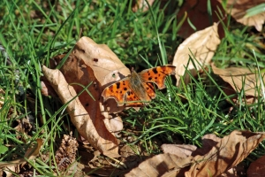 Orange-red butterfly with black speckled wings perched on a fallen leaf amongst the grass